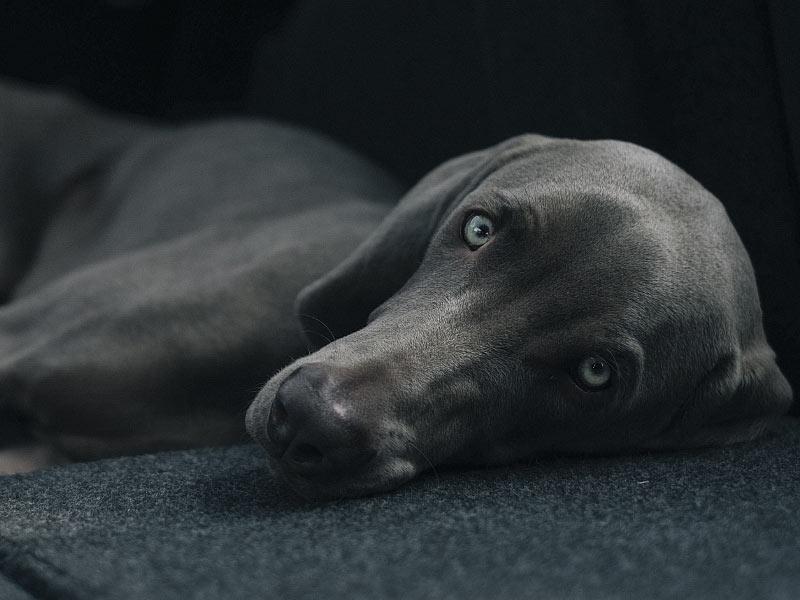 Dog laying down