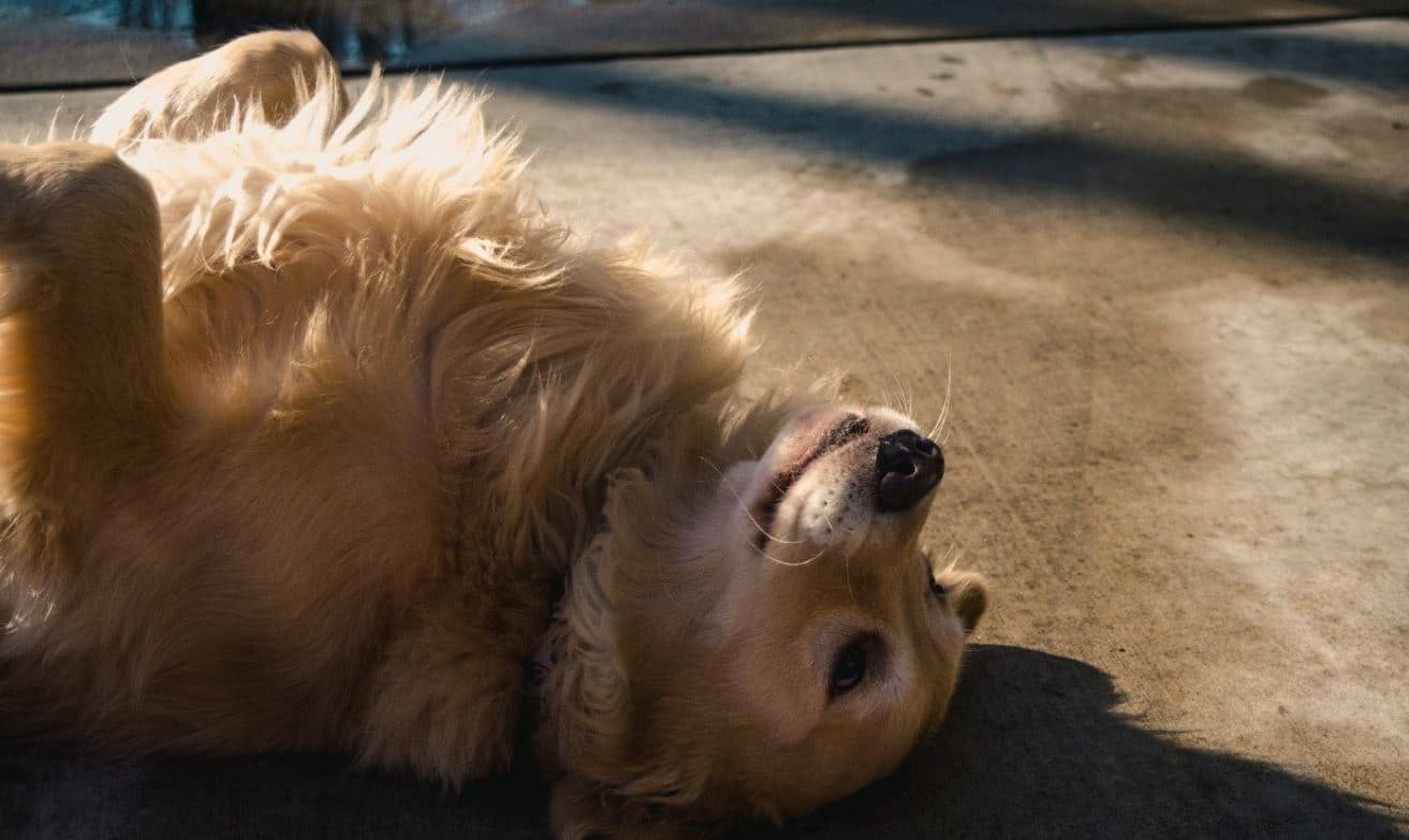 Golden Retriever rolling over the ground