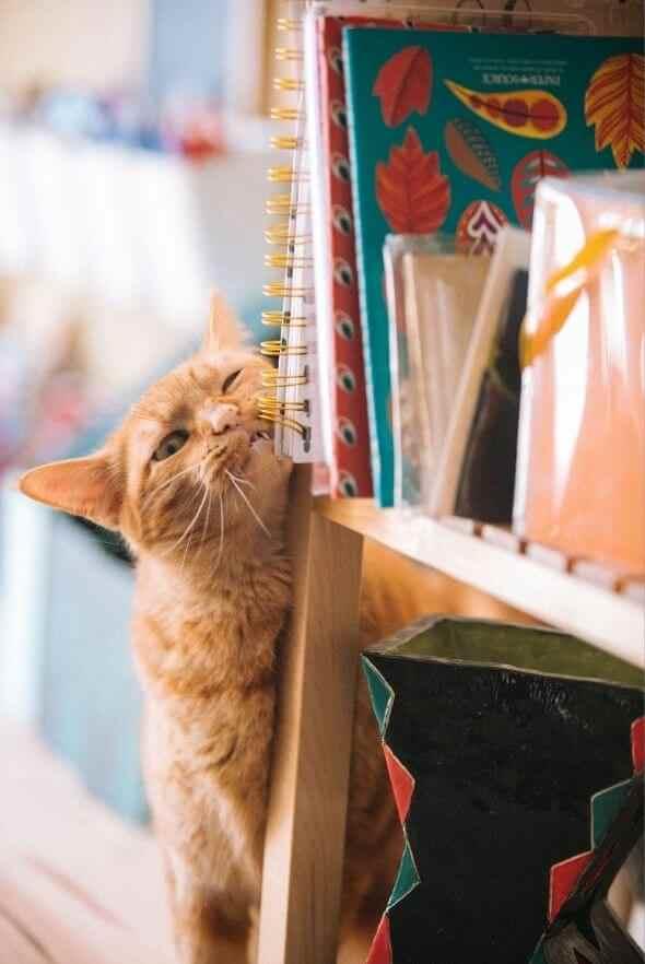 Cat leaning shelf