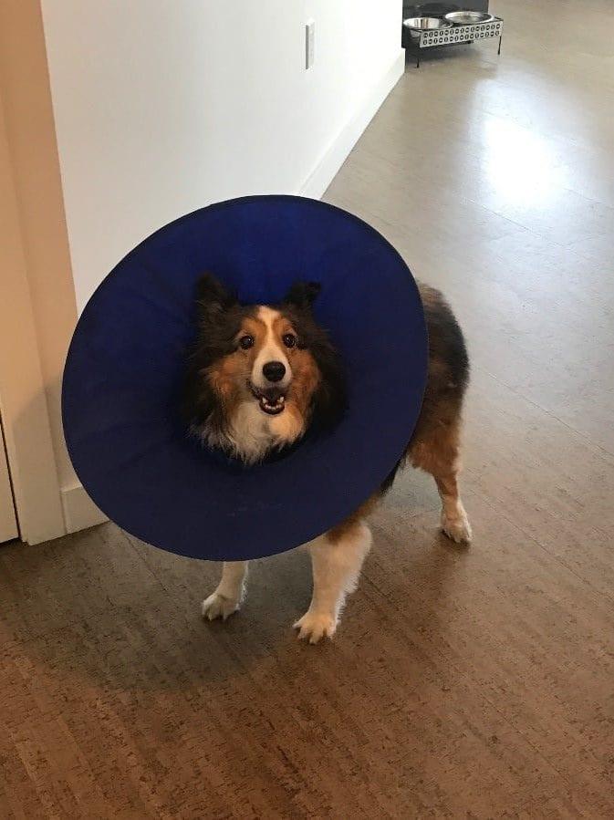 Blue collar dog on wooden floor