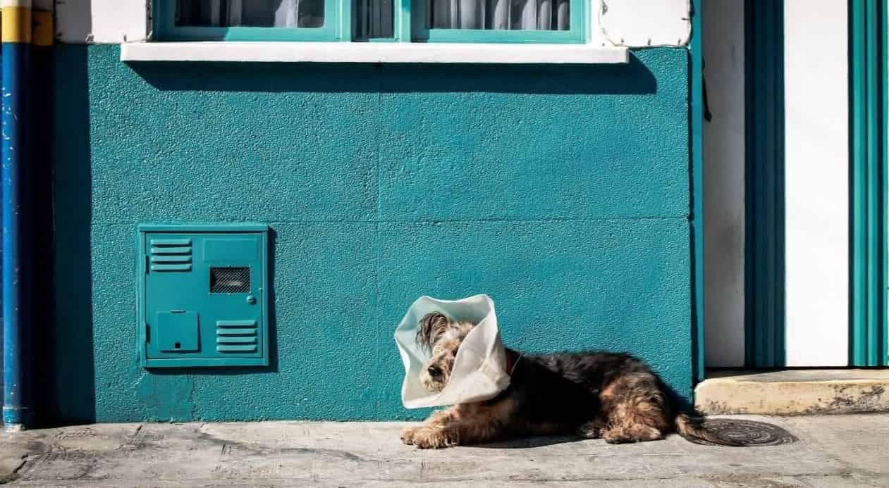 Dog wearing a collar in front of blue wall