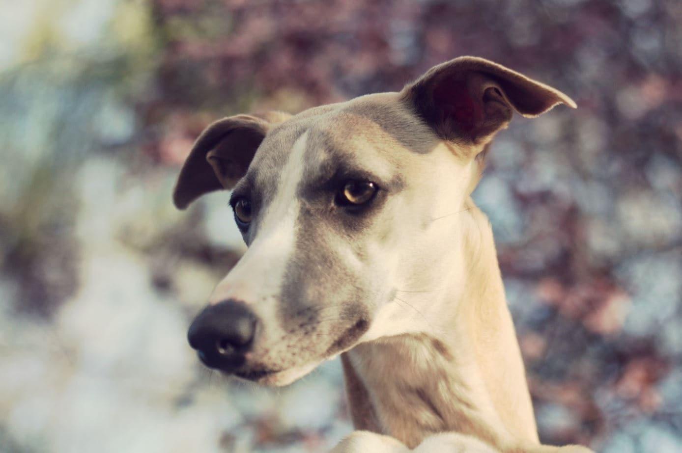 Greyhound close up in winter