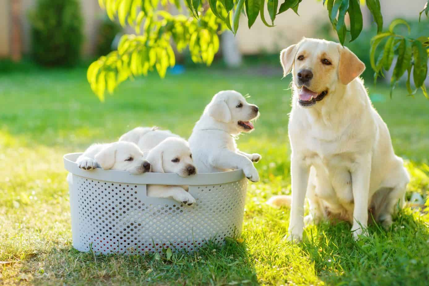 Dog with its puppies in a basket