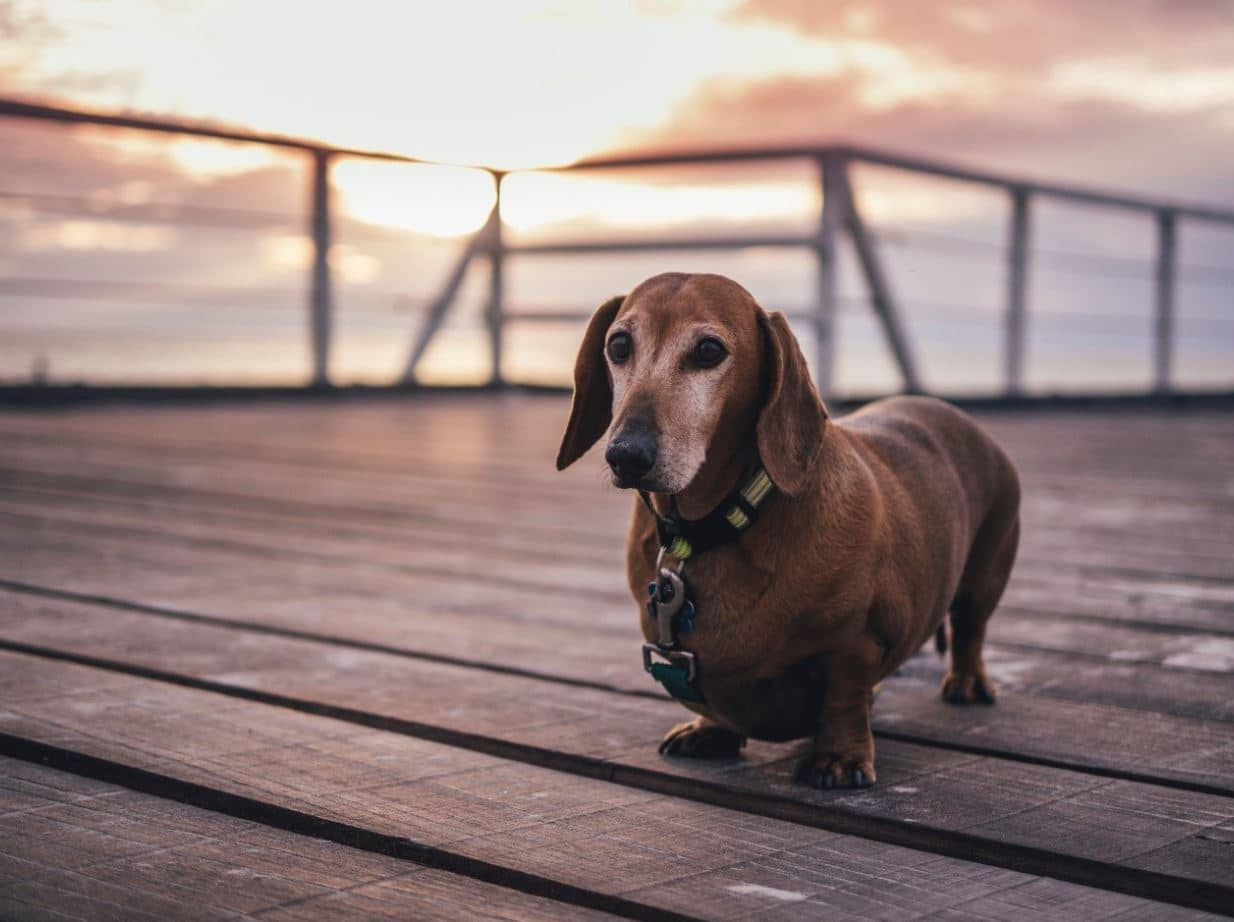 Short dog on jetty