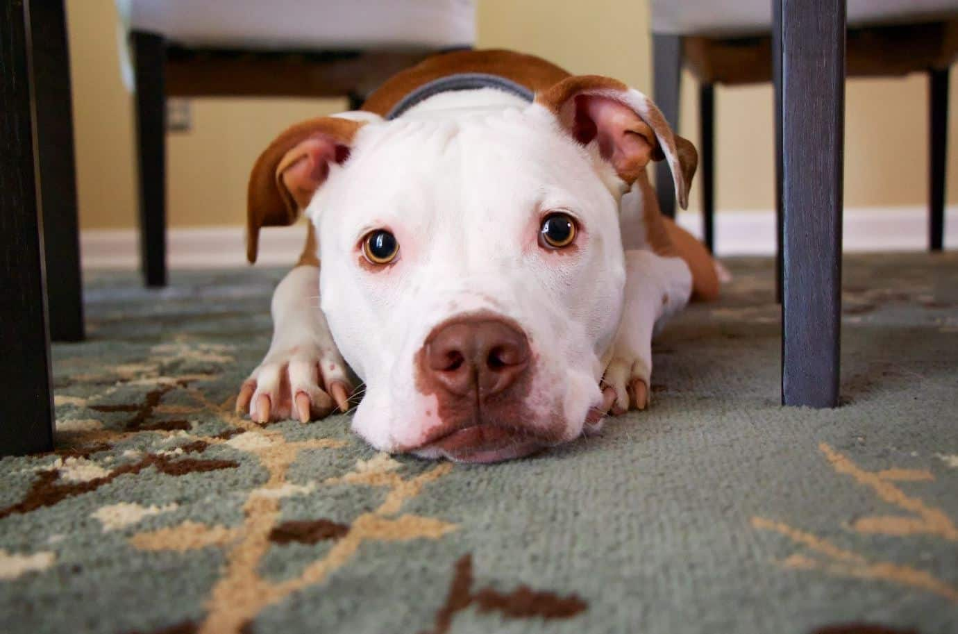 White faced pitbull mix under table