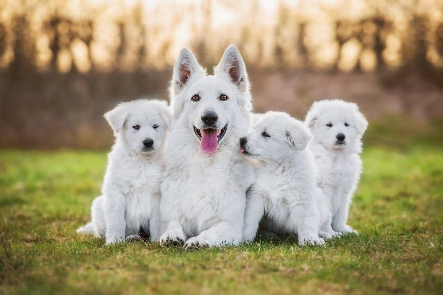 White dog parent and puppies get together
