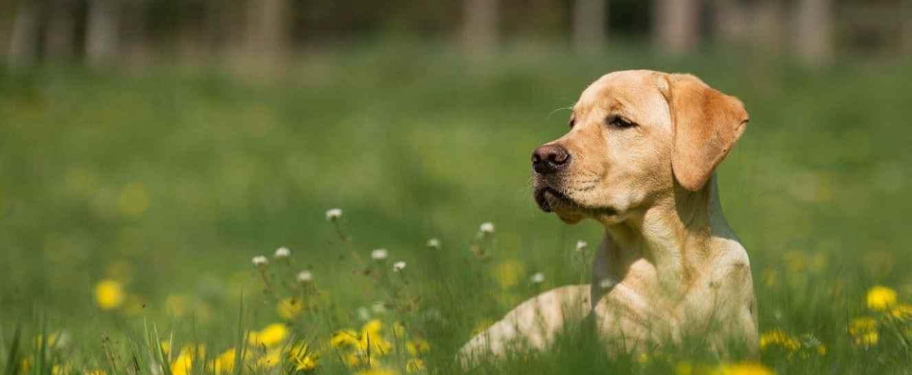 Labrador sitting in spring park