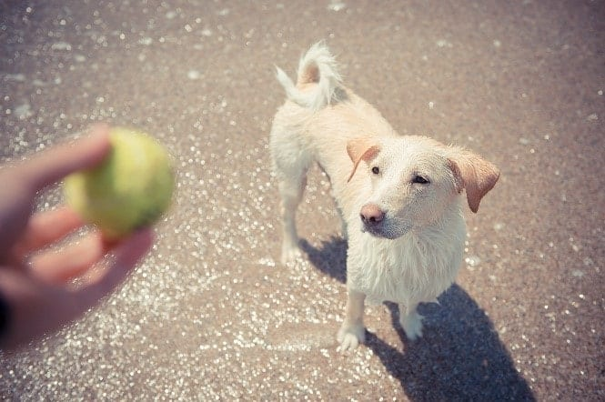 Dog looks at a tennis ball in hand
