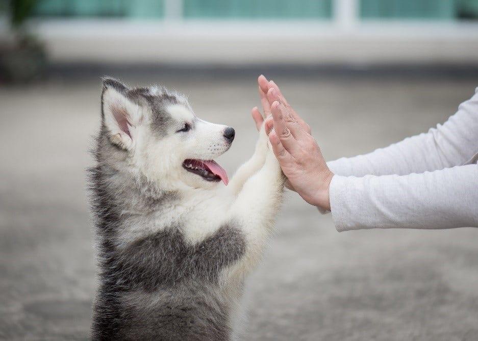 Dog giving high five to human