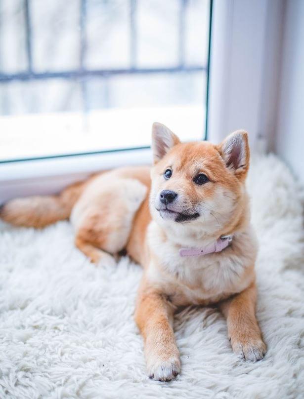 Dog lying on a blanket