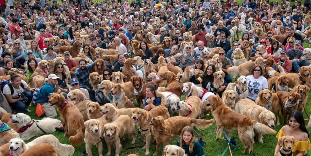 500 Golden Retrievers at Goldie Palooza 2018