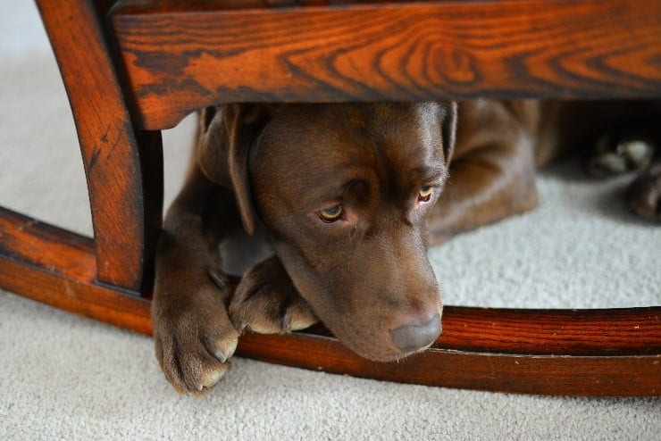 Scared dog hides under a chair