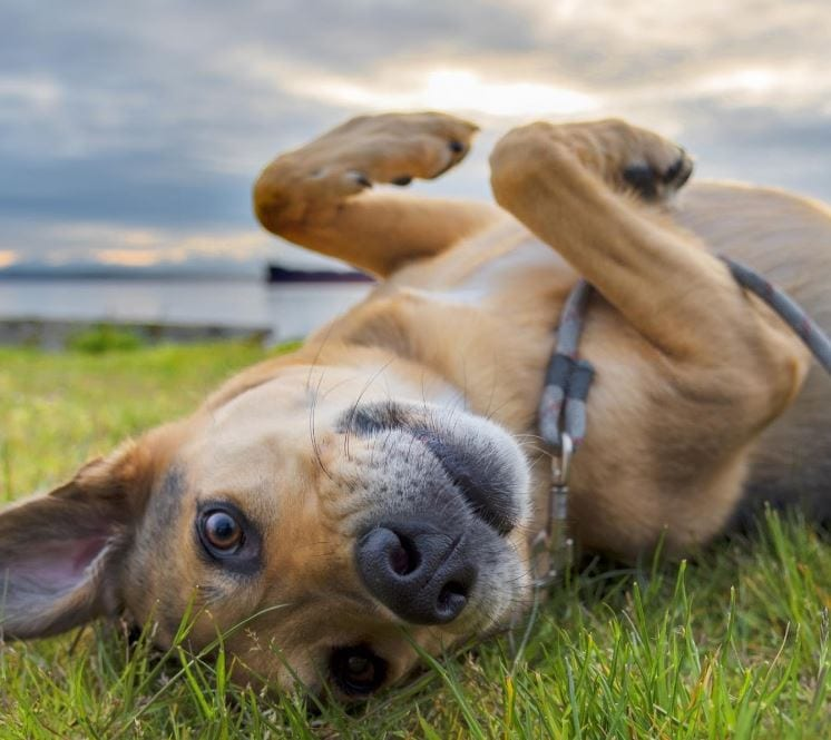 Mutt dog lying on grass