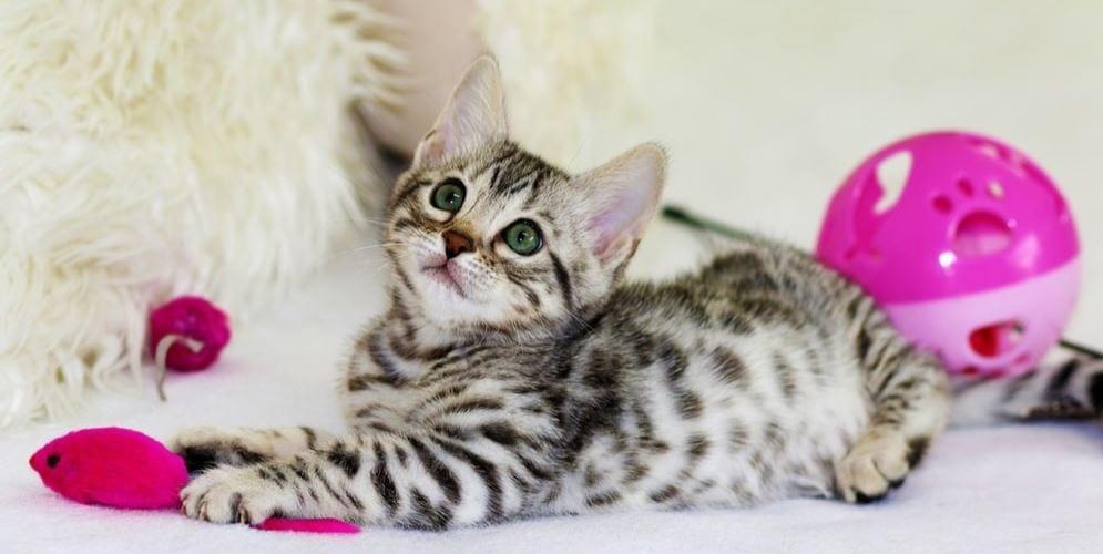 Kitty plays kitty toys
