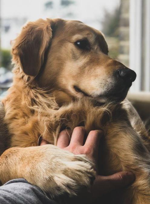 Woman petting Golden Retriever
