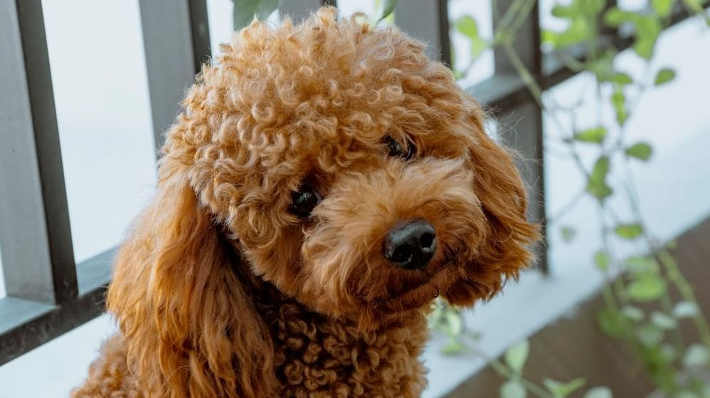 Brown poodle looks at camera