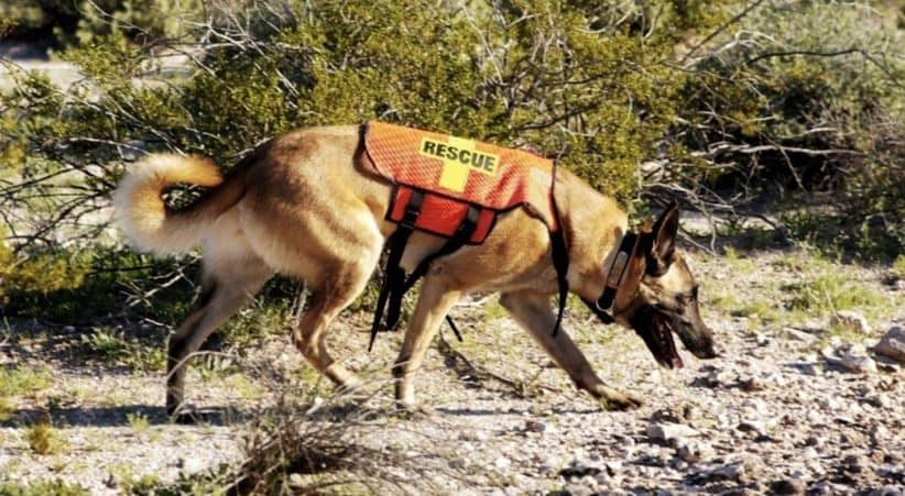 Search and rescue dog sniffing ground