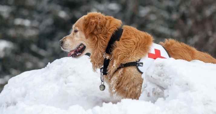 Search dog in mission in the snow