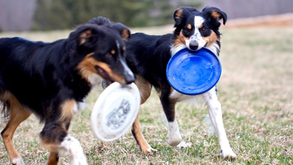 two dogs with frisbees