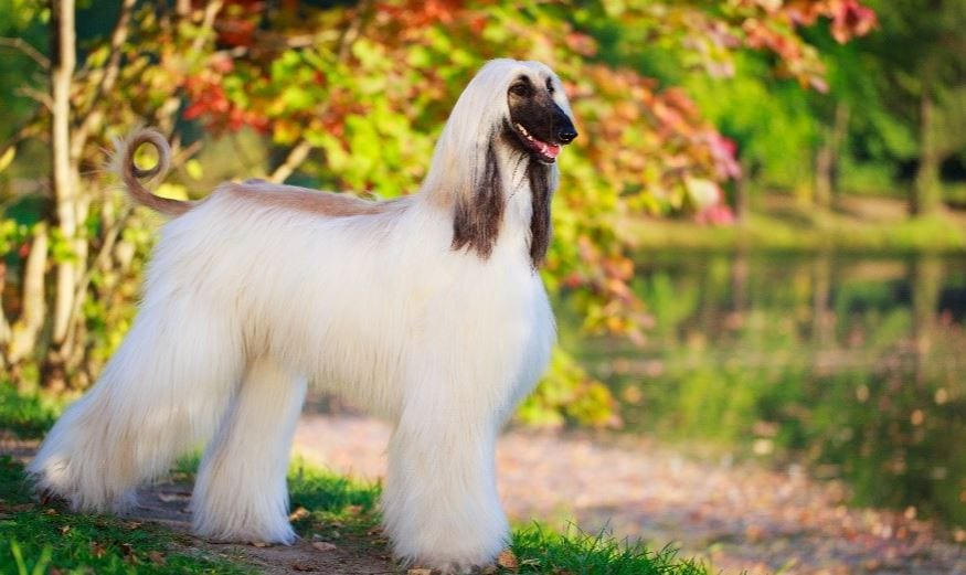 afghan hound with flowing hair