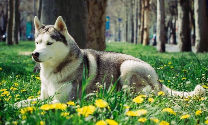 canadian eskimo dog in spring