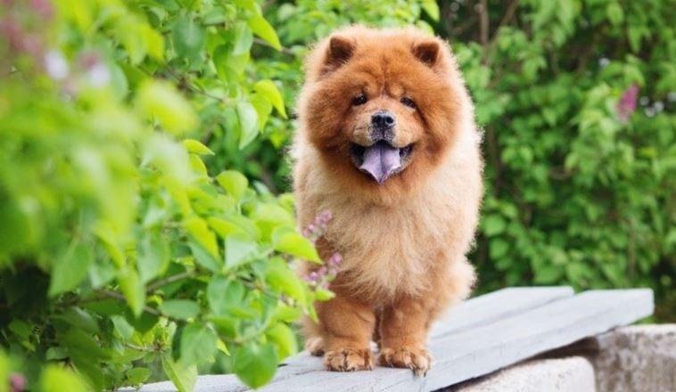 3rd most expensive dog breed: Chow Chow