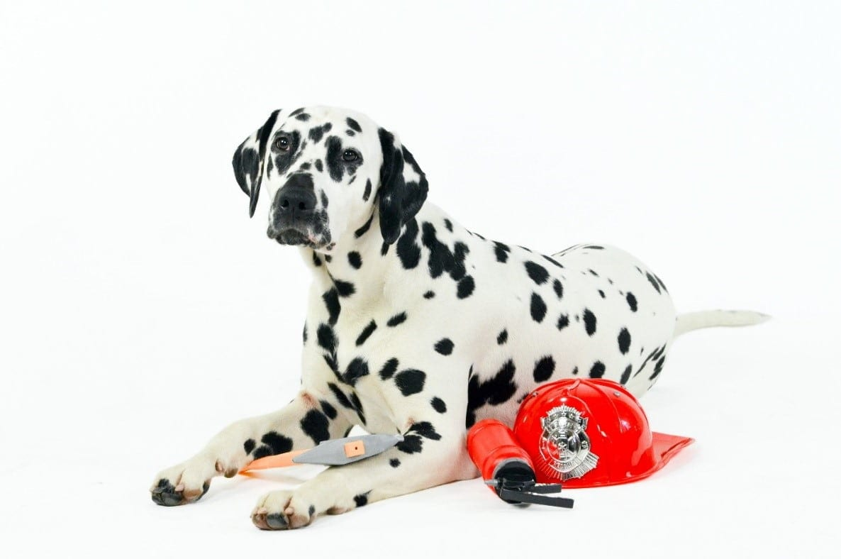 Dalmatian fireman dog with fireman costume