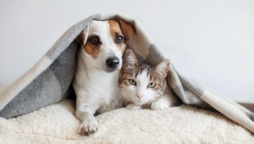 Dog and cat put their bodies in blanket