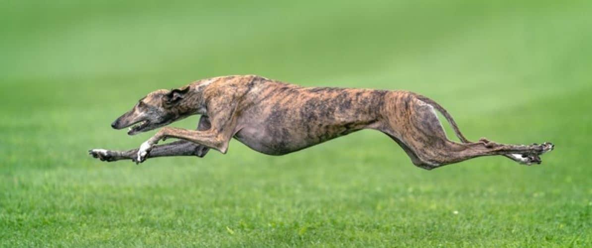 Greyhounds running on glass land