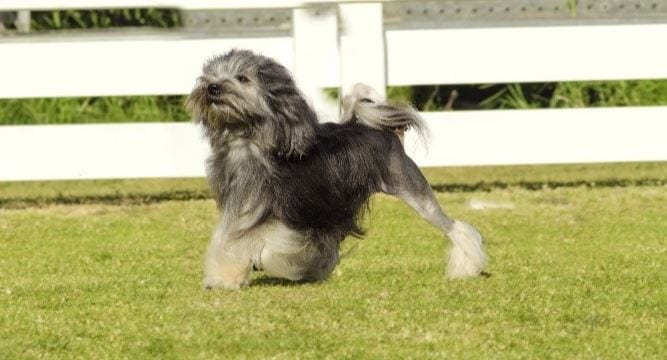 2nd most expensive dog breed: Löwchen