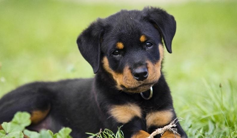 6th most expensive dog breed: Rottweiler