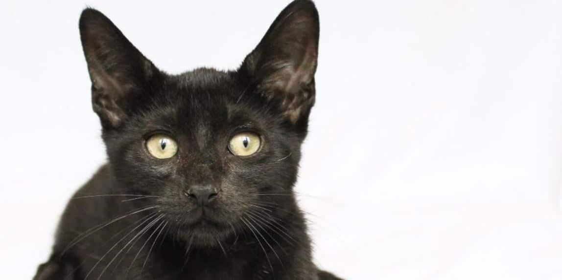 Famous black cat close up