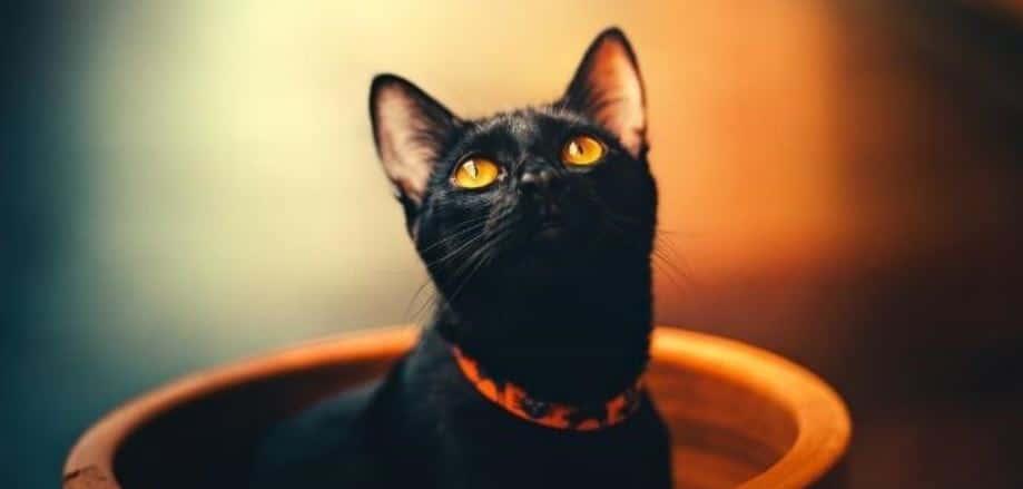 Black cat in pot