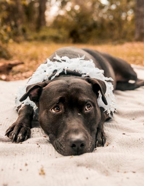 Black Pit Bull on sand