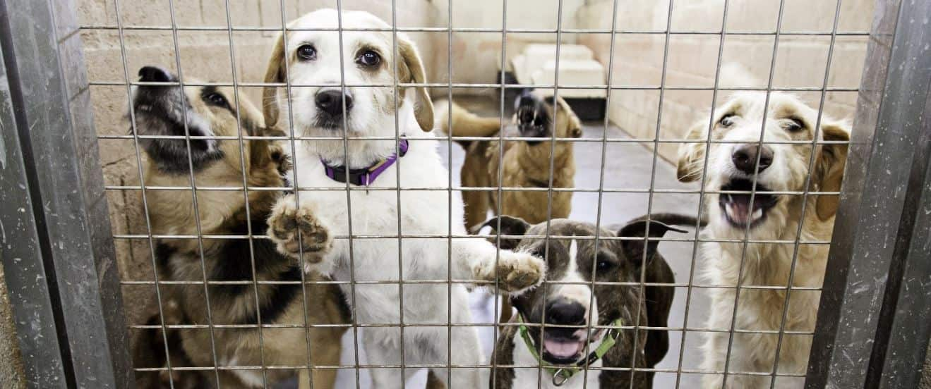 Dogs in shelter behind a fence