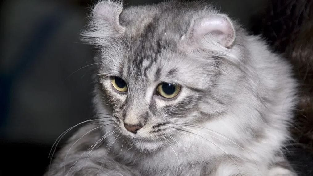 Cat breed like dog 8: American Curl