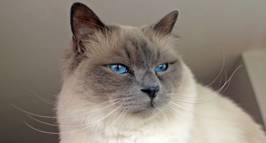 Cat breed like dog 7: Birman