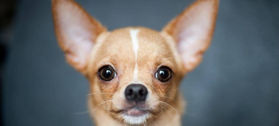 Brown Chihuahua closeup
