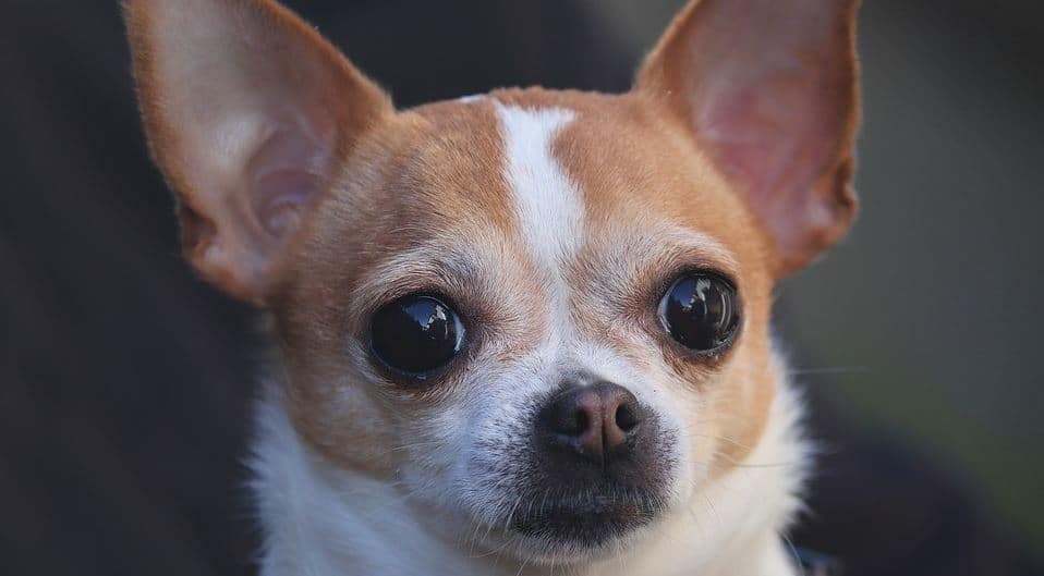 Toy breed: Chihuahua