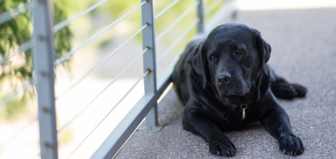 Black dog sits at balcony