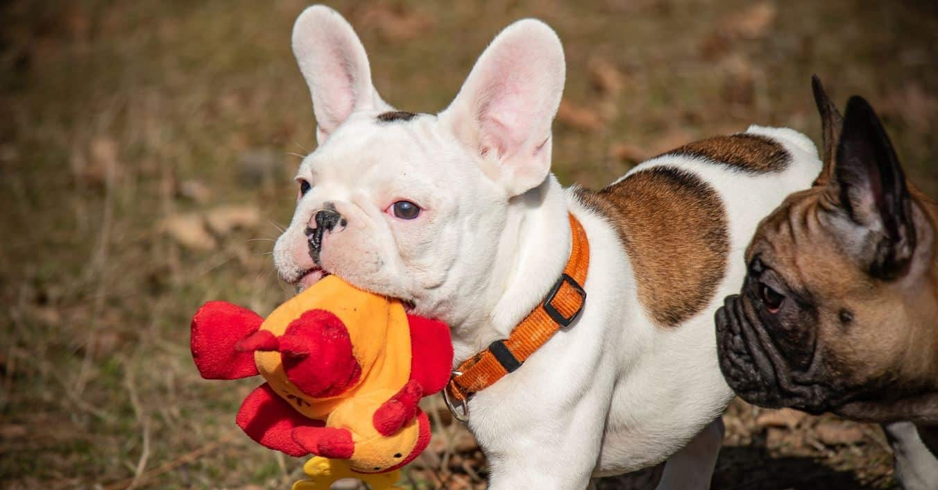 French bulldog holding a toy
