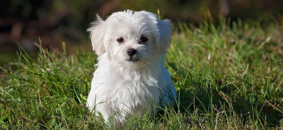 Toy breed: Maltese