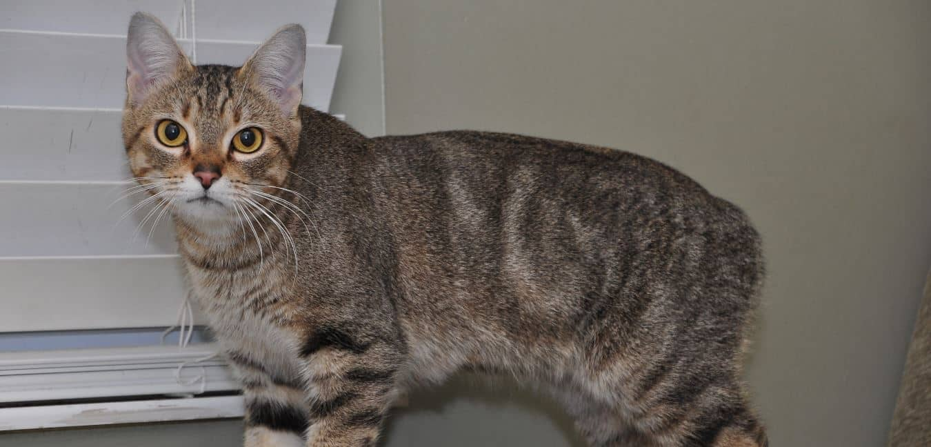 Cat breed like dog 3: Manx