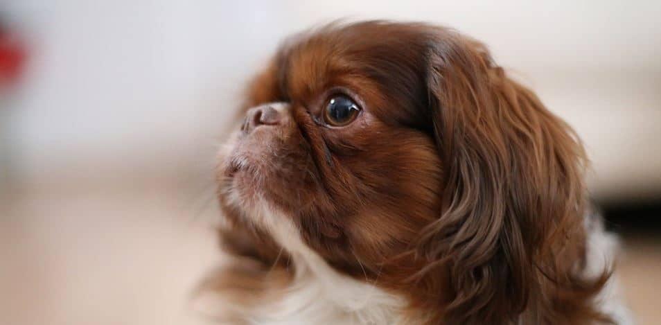 Toy breed: Pekingese