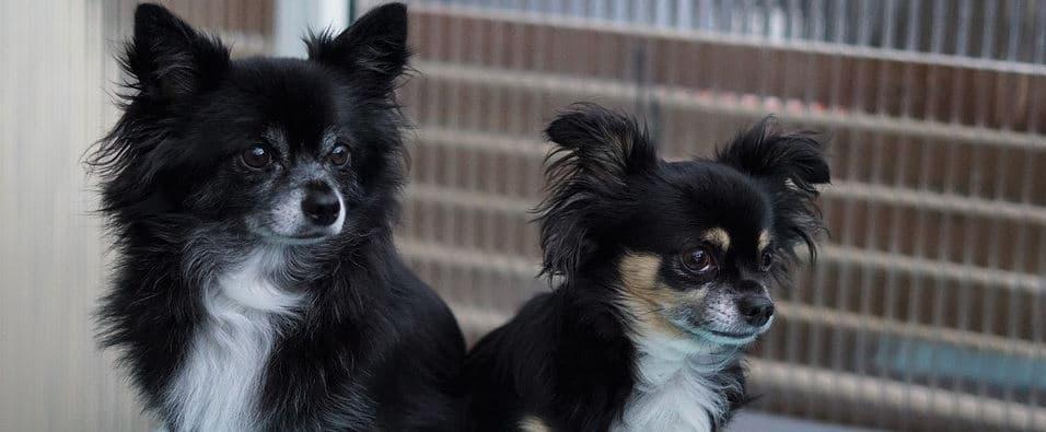 Two back Chihuahua