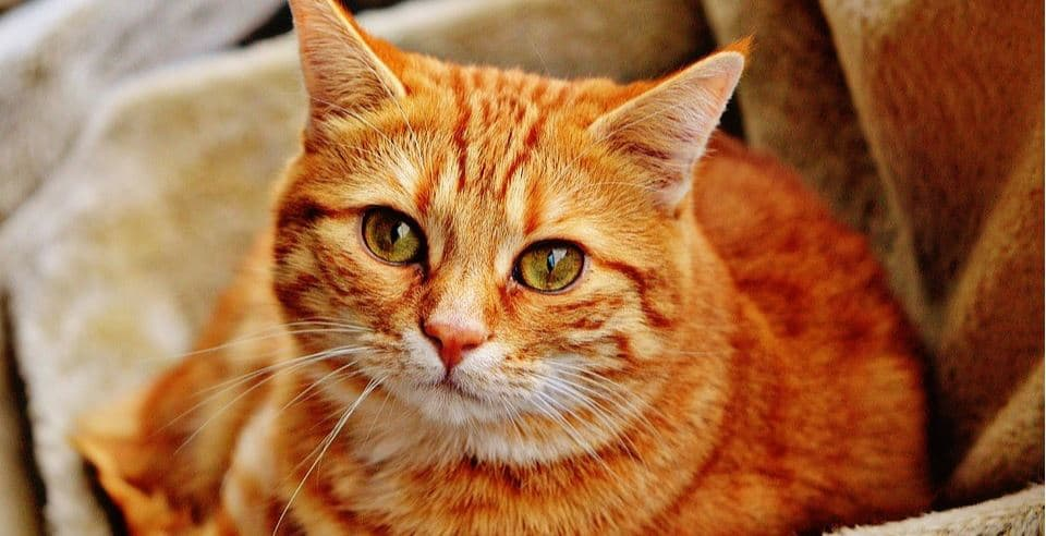 Orange tabby cat CBD oil