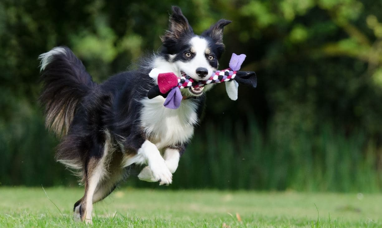 Dog is running with holding toy