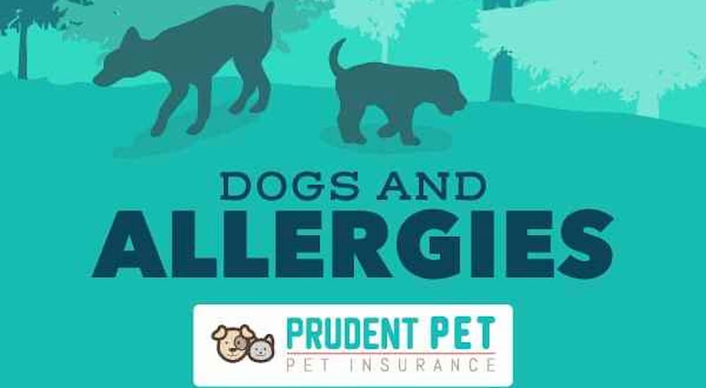 Dogs and allergies post from Prudent Pet