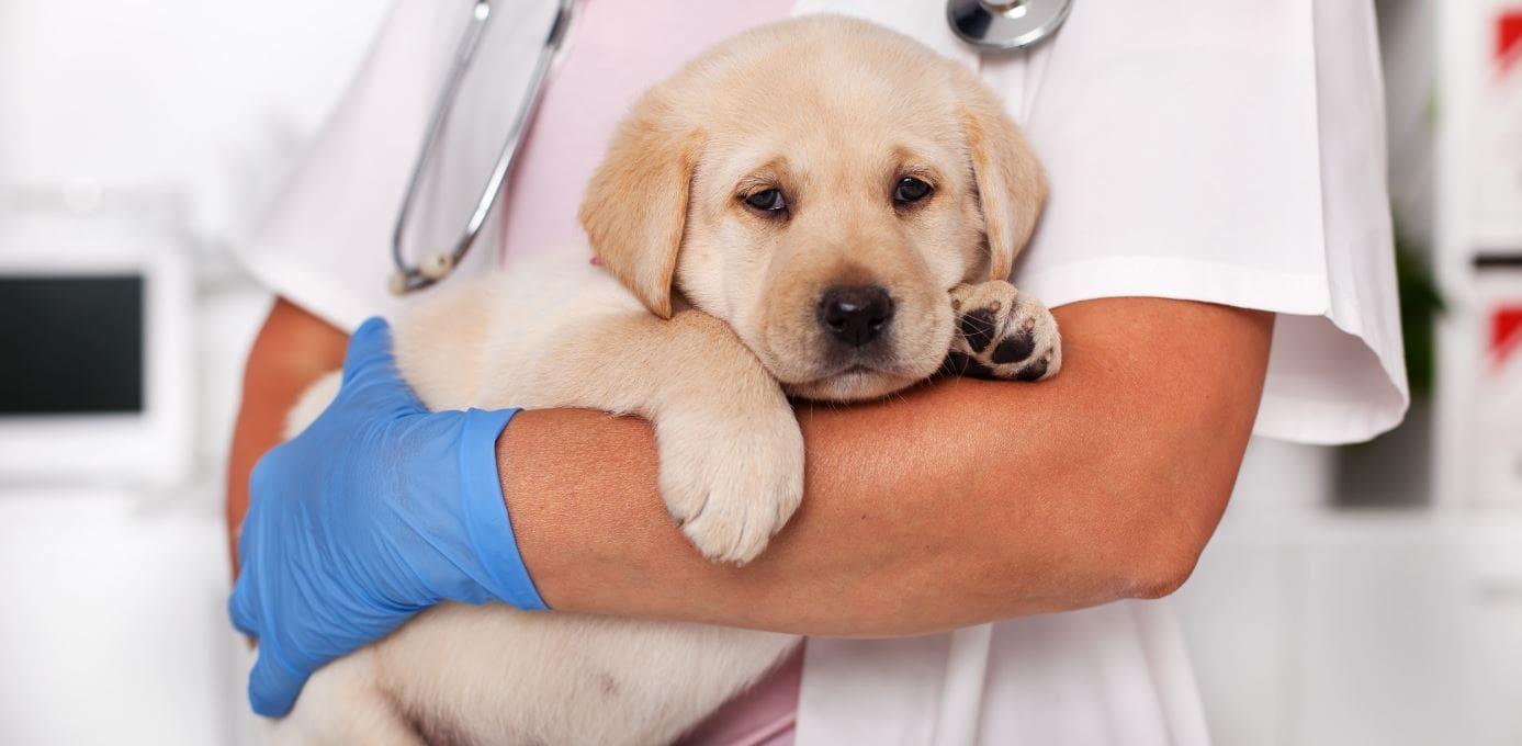 Labrador visiting a vet