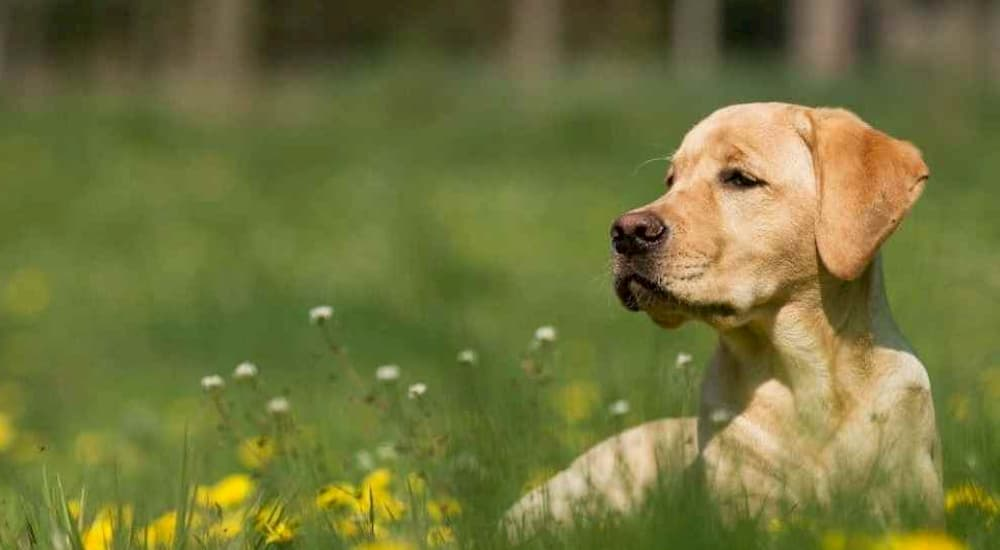 Yellow Labrador Retriever laying in field with flowers